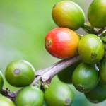 Coffee Berry - The Next Big Anti-Oxidant